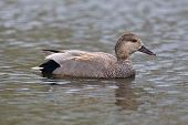 picture of gadwall  - A closeup view of a Gadwall Duck floating on calm waters in a pond - JPG