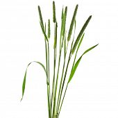Постер, плакат: Timothy grass Phleum pratense L isolated on white background