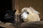 pic of alpaca  - Two smile alpacas in Salzburg zoo - JPG