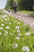 picture of dog-walker  - Dandelions along the Confederation Trail in rural Prince Edward Island - JPG