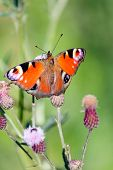 stock photo of scottish thistle  - Peacock butterfly on a thistle flower  - JPG
