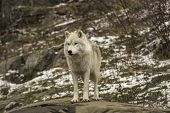 image of horrific  - An Arctic Wolf in a winter landscape - JPG