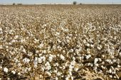stock photo of pima  - a defoliated cotton field ready for harvest - JPG