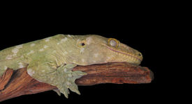 image of goodnight  - A smiling lizard isolated on black rests on a stick - JPG