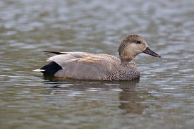 image of gadwall  - A closeup view of a Gadwall Duck floating on calm waters in a pond - JPG