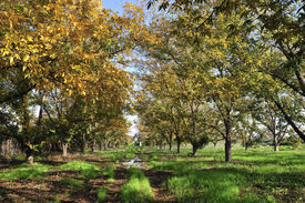 foto of pecan tree  - Grove the pecan is a large deciduous tree - JPG
