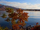 stock photo of tree snake  - Small tree next to the snake river turning into fall colors - JPG