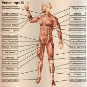 pic of triceps brachii  - Vector concept or conceptual 3D male or human anatomy - JPG