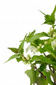 stock photo of sting  - Closeup of blooming stinging nettle over white background - JPG