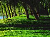 picture of arborist  - Weeping Willows in Summer Palace - JPG