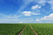 image of sugar industry  - Furrows in a field with sugar beets - JPG