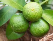 stock photo of lime  - green lemon  - JPG
