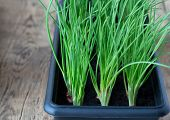 stock photo of planters  - green onion growing in black plastic seedling or planter box - JPG