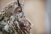 pic of rear-end  - Eagle Owl - JPG