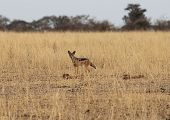 pic of jackal  - African jackal observing the savanna during the morning - JPG