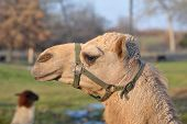 image of harness  - Cloesup of a camel head in a harness