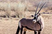 foto of antelope horn  - portrait of Gemsbok Oryx gazelladominant Gemsbok antelope in the park Kgalagadi South Africa - JPG