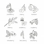 picture of aronia  - Set of hand - JPG