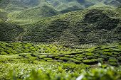 foto of cameron highland  - Tea plantation in the mountains of Cameron Highlands Malaysia - JPG