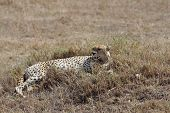 stock photo of cheetah  - african cheetah is relaxing in the savanna during the morning - JPG