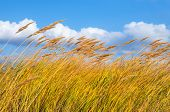 picture of windy weather  - Yellowed cane against the sky in windy weather - JPG