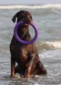 image of doberman pinscher  - Doberman dog playing and swimming in the water with puller - JPG