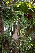 picture of rainforest  - Variety of stag horn ferns clinging to trees in rainforest - JPG