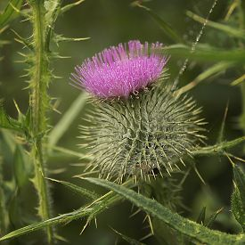 stock photo of century plant  - Common throughout the highlands - JPG