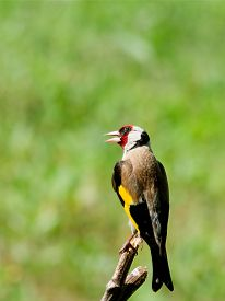 image of goldfinches  - Young Goldfinch  - JPG