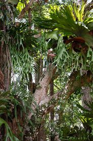 stock photo of goanna  - Variety of stag horn ferns clinging to trees in rainforest - JPG