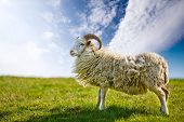 A sheep in a pasture against a blue sky with back lighting.