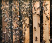 Western honey bee (Apis mellifera), also known as the European honey bee. poster