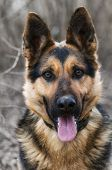 image of shepherd dog  - German shepherd portrait close up - JPG