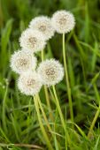 bunch of fluffy white dandelions poster