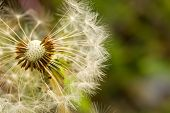 Fluffy white dandelion with brown seeds macro poster