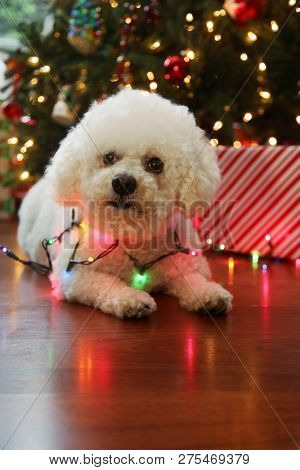 poster of Christmas Dog. Bichon Frise Dog. Bichon Frise dog. Bichon Dog with Christmas lights. room for text o