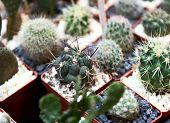 On The Surface Of The Table Are Many Small Cacti Planted In Small Pots. Background Texture. Cropped  poster