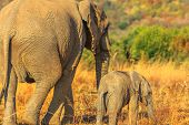 Back Side Of Mother Elephant With Calf Walking Together. Safari Game Drive In Pilanesberg National P poster