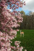 picture of japanese magnolia  - A picture of magnolia blossoms with a fawn deer in the backgound