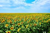 Field Of Sunflowers. Yellow Sunflowers Grow In The Field. Agricultural Crops. Yellow Sunflower Field poster