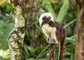 Cotton Top Tamarin Monkey - Saguinus Oedipus - Sitting On Top Of A Tree Branch poster
