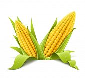 stock photo of maize  - couple corncob vector illustration isolated on white background - JPG