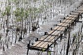 Mangroves Forest Area Shallow Water For Plantation, Forest Plantation On Muddy Land Clay Area For Ma poster