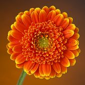 pic of gerbera daisy  - orange starburst gerber with dew drops on brown background - JPG