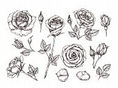 Hand Drawn Roses. Sketch Rose Flowers With Thorns And Leaves. Black And White Vintage Etching Vector poster