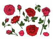Red Rose. Hand Drawn Roses Garden Flowers With Green Leaves, Buds And Thorns. Cartoon Vector Isolate poster