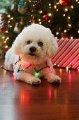 Christmas Dog. Bichon Frise Dog. Bichon Frise dog. Bichon Dog with Christmas lights. room for text o poster