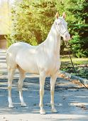 Akhal-teke Horse Portrait. Perlino Or Cremello Thoroughbred Mare With Blue Eyes, Blur Golden Foliage poster