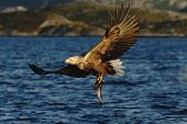 White-tailed Eagle In Flight, Eagle With A Fish Which Has Been Just Plucked From The Water, Norway,h poster