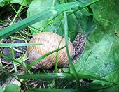 Big Garden Snail In Shell Crawling On Wet Road Hurry Home. Snail Helix Consist Of Edible Tasty Food  poster